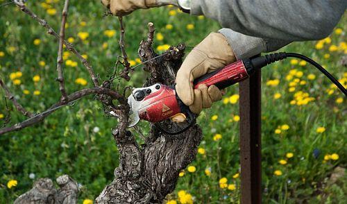 Как стричь виноград