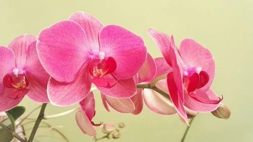 Полив орхидей настоем чеснока, польза и противопоказания