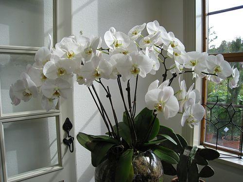 Полив орхидей чесночной вытяжкой