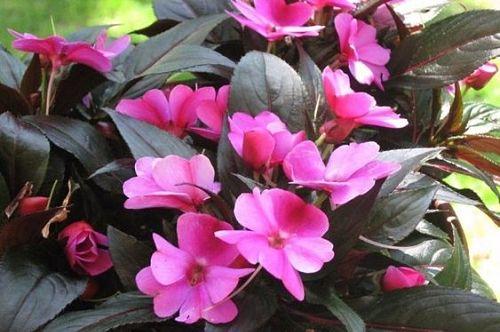 розовый бальзамин