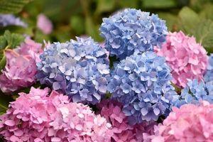 Как добиться шикарного цветения гортензии