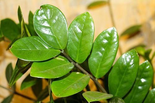 листья замиокулькаса