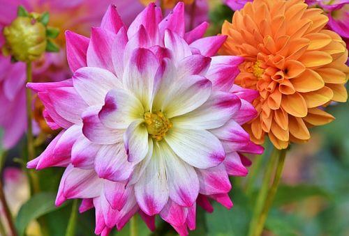 георгины цветение