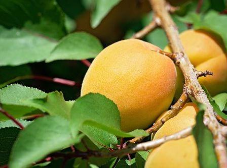 оприскування абрикосів