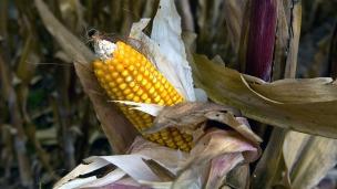 Monsanto - III