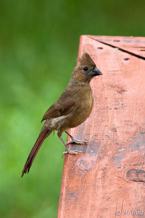 Northern Cardinal (F) (J)
