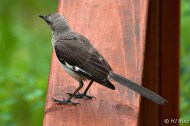 Northern Mockingbird (Remember him?)