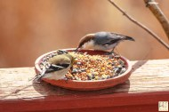American Goldfinch & Brown-headed Nuthatch