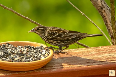 Red-winged-Blackbird (F) Juvenile