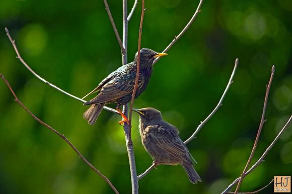 European Starlings (A) (F)