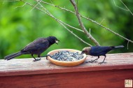 Common Grackle (M) and Brown-headed Cowbird