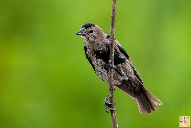 Brown-headed Cowbird (M) (molting)