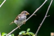House Sparrow (J)