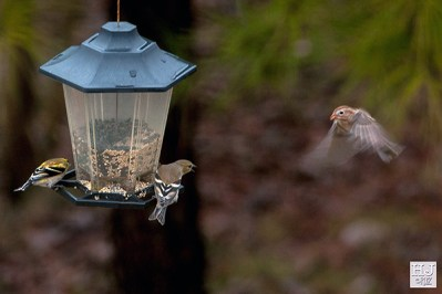 American Goldfinch and Field Sparrow