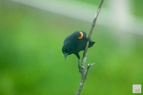 Red-wingued Blackbird