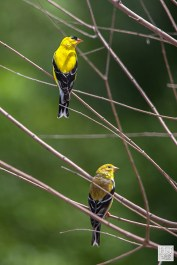 American Goldfinch (M&F)