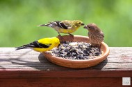 Goldfinch pair and House Finch