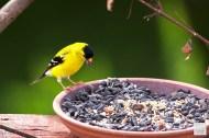 American Goldfinch (M)