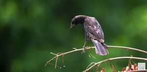 Red-winged Blackbird (J)