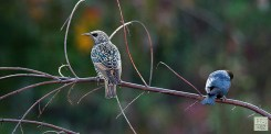 E. Starling and Brown-headed Cowbird (M)
