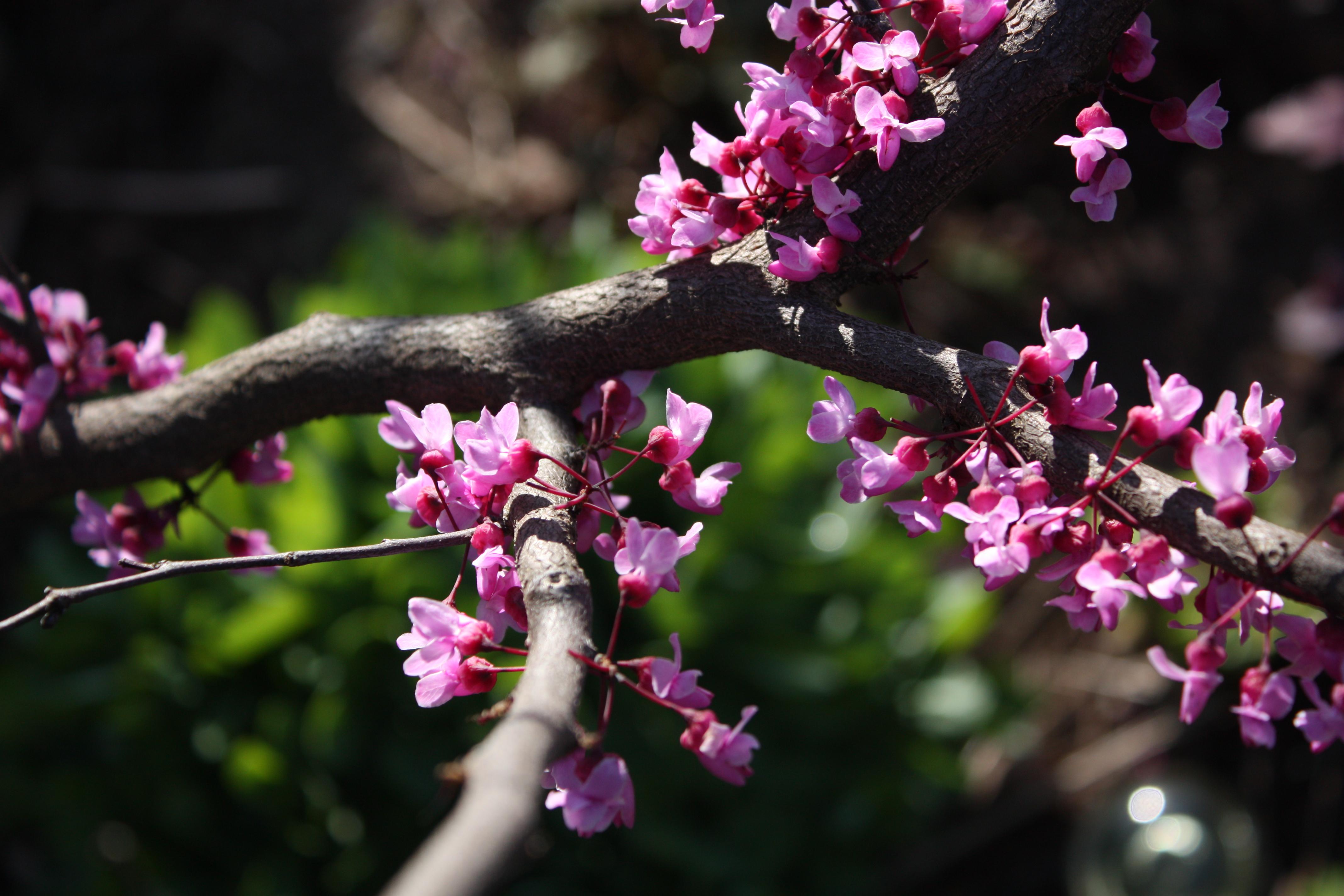 Redbud blooms