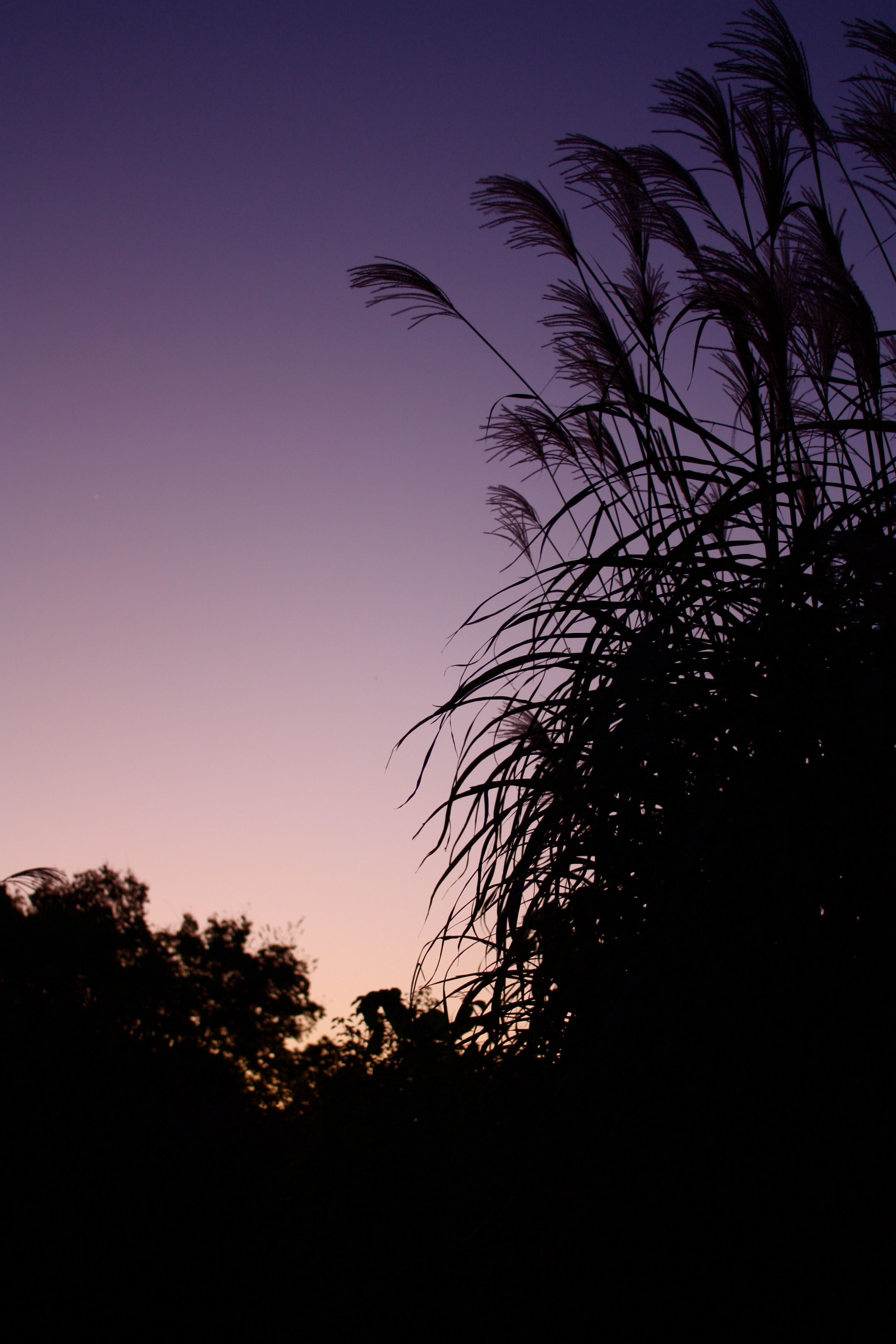 Grasses at dawn