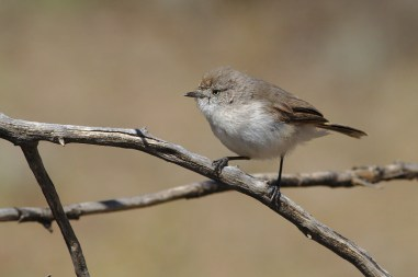 Chestnur-rumped Thornbill