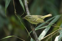 Phylloscopus sp