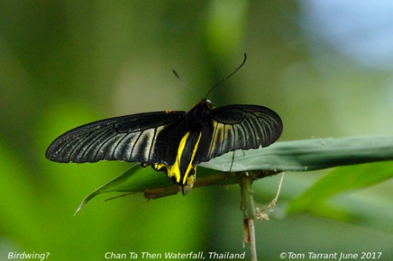 Unknown Birdwing