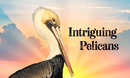 Intriguing Pelicans