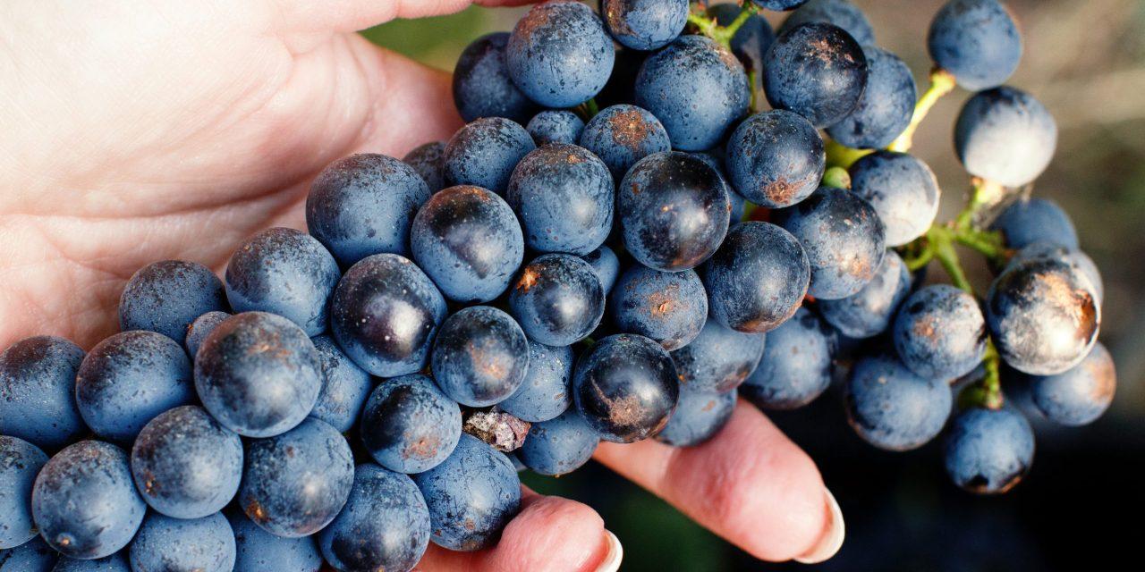 Avila Valley Grapevine: Tough Harvest This Year