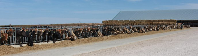 horizontal-cows-with-hay