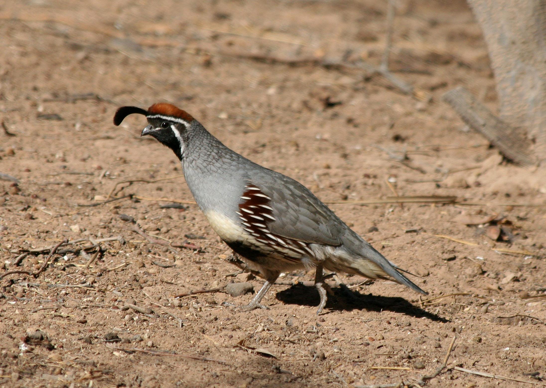 https://i2.wp.com/avise-birds.bio.uci.edu/galliformes/odontophoridae/Callipepla_gambelii/images/1gaqu_male_02_06_07.jpg