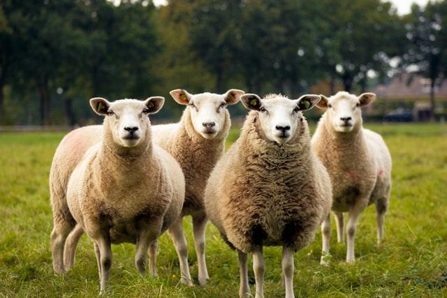 Moutons en liberté