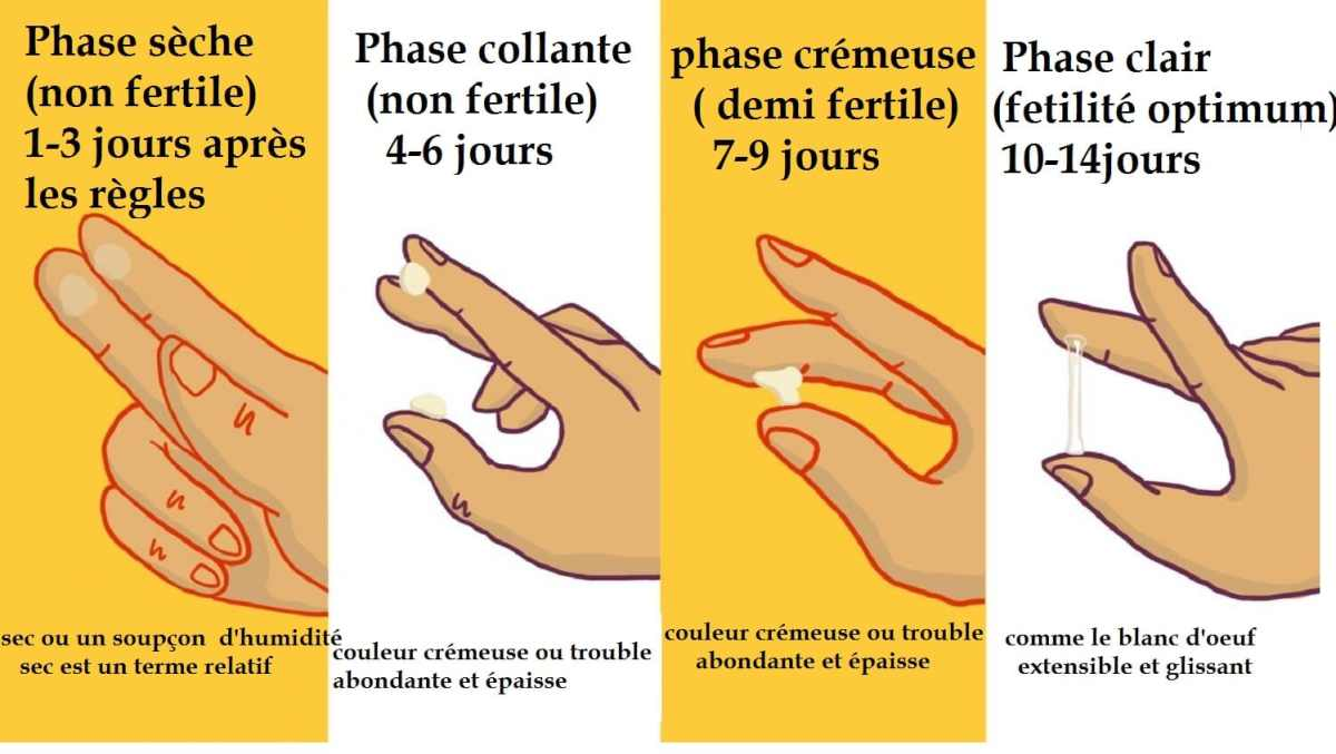 Glaire cervicale- les 4 phases