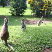 Travailler dans un refuge de kangourous