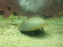 The bizarre horseshoe crab creeps along the floor of its tank.