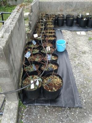 3月3日に定植したブルーベリーの苗その3