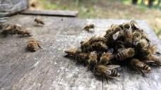 Bees balling a yellow hornet