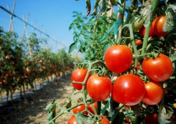 Problems of Tomato Production in Nigeria