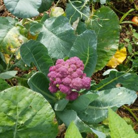Have you ever seen PURPLE Broccoli?? This was a 1st for us for sure.