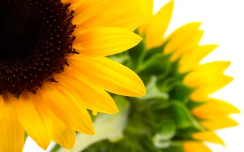 backgrounds-pictures-sunflowers-images-resolution