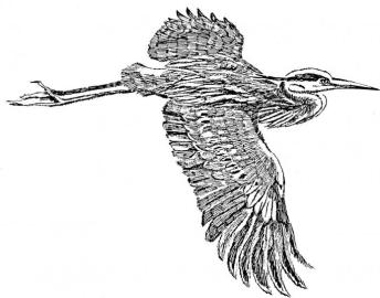 great-blue-heron-in-flight-line-art-drawing-illustration-693x544
