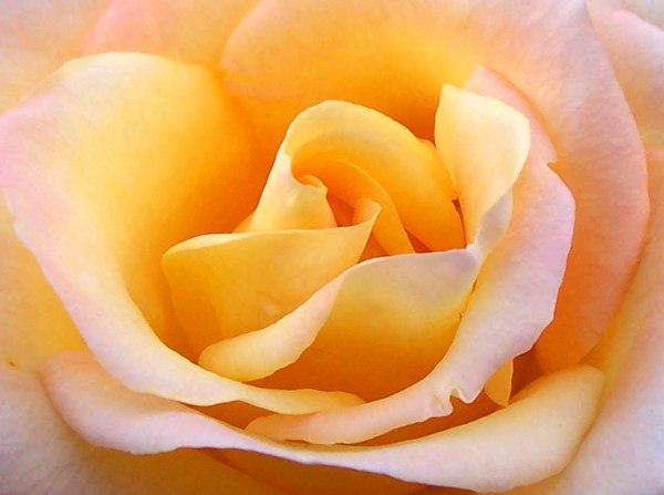 Close_up_yellow_rose