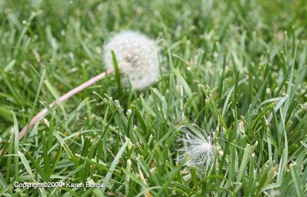 Dandelion Miracle
