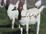 Bakra Eid Special Wallpapers