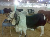 Bakra Eid HD Wallpapers Collection 2014
