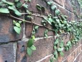 Ivy creeping on brick
