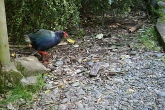 ground bird kapiti
