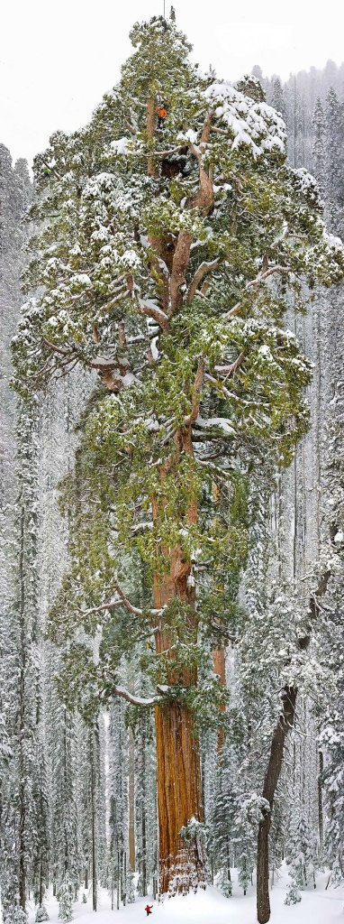 California's Sequoia